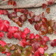 Colourful wild wine on wall in autumn — Stock Photo