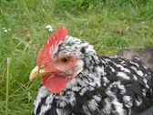 Hen, close-up — Stockfoto