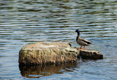Wild duck on rock in a lake — Stock Photo