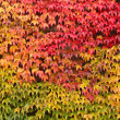 Stock Photo: Wild wine on wall in autumn