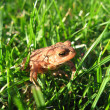 Royalty-Free Stock Photo: Young European Toad in Grass