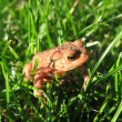 Young European Toad in Grass - Stock Photo