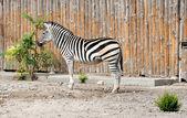 This Zebra — Stock Photo