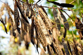 The seeds of the tree acacia — Stock Photo