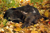 The dog sleeps on the yellow leaves — Stock Photo
