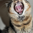 Cat yawning — Stock Photo #15309525