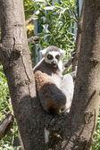 Lemur — Stock fotografie