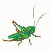 Locust — Stock Vector