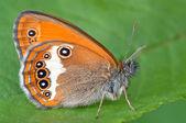 Papillon orange — Photo