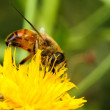 Bee on yellow flower. — Stock Photo #36008527
