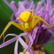 Yellow spider on a purple flower. — Stock Photo