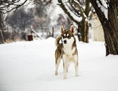 Mongrel dog in winter — Stock Photo