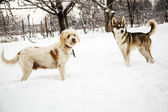 Mongrel dogs in winter — Stock Photo