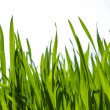 Green grass background,meadow,field,grain — стоковое фото #24868617