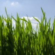 Green grass background,meadow,field,grain — стоковое фото #24868619