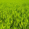 Green grass background,meadow,field,grain — стоковое фото #24868671
