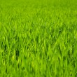 Green grass background,meadow,field,grain — Stock Photo