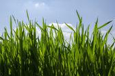 Green grass background,meadow,field,grain — Stock Photo