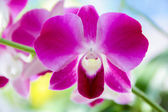 Orchid - Thai Orchid — Stock Photo