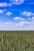 Verdant field crops — Stock Photo