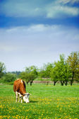 Feeding Cow — Stockfoto