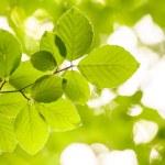 Alder Tree Branch — Stock Photo #23353598