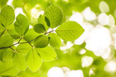 Alder Tree Branch — Stock Photo