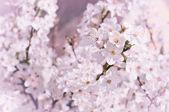 Kirschblüten — Stockfoto