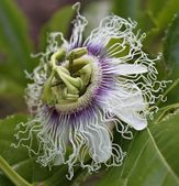Flower of passion fruit — Stock Photo