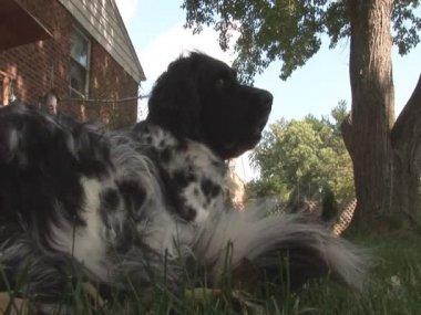 Dog in yard — Stock Video