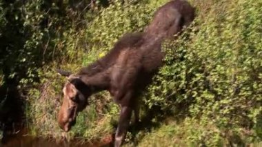 Moose drinking to wide shot of Rocky Mountain National Park — Stock Video