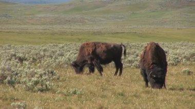 Zwei Bisons im Yellowstone-Nationalpark — Stockvideo