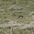 Black bear in Yellowstone National Park — Stock Video #28418179