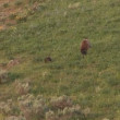 Mother grizzly with cubs in Yellowstone National Park — Stock Video #28418883