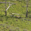 Mother grizzly with cubs in Yellowstone National Park — Stock Video #28428479