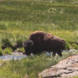 Mother grizzly with cubs in Yellowstone National Park — Stock Video #28430315