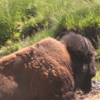 Mother grizzly with cubs in Yellowstone National Park — Stock Video #28432645