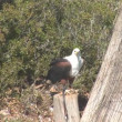Stock Video: Chained bald eagle