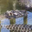 Gators fight for food — Stock Video