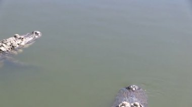 Two alligators — Stock Video
