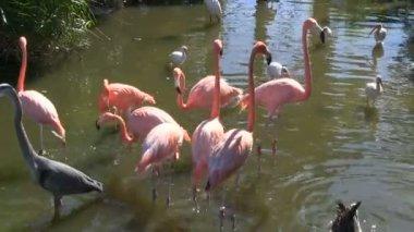 Egret, Heron, Flamingos' and a goose — Stock Video