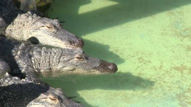 Alligators in captivity — Stock Video