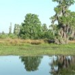 Stock Video: Tilt up from wetlands to live oak with Spanish moss. Shot in Central Florida.