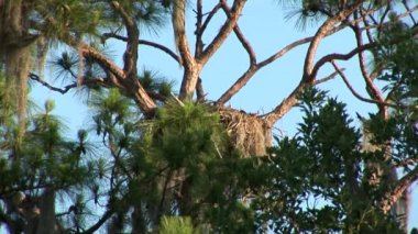 Nest of bald eagles — Stock video