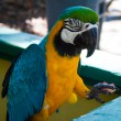 Macaw — Stock Photo #36839933
