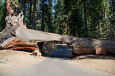 Tunnel tree in Sequoia National Park — Стоковое фото