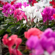 Stock Photo: Cyclamen flowers in greenhouse