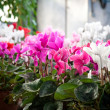 Cyclamen flowers in a greenhouse — Stock Photo