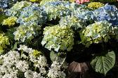 Hydrangeas at market — Stock Photo