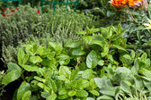 Herbs for sale at market — Stock Photo